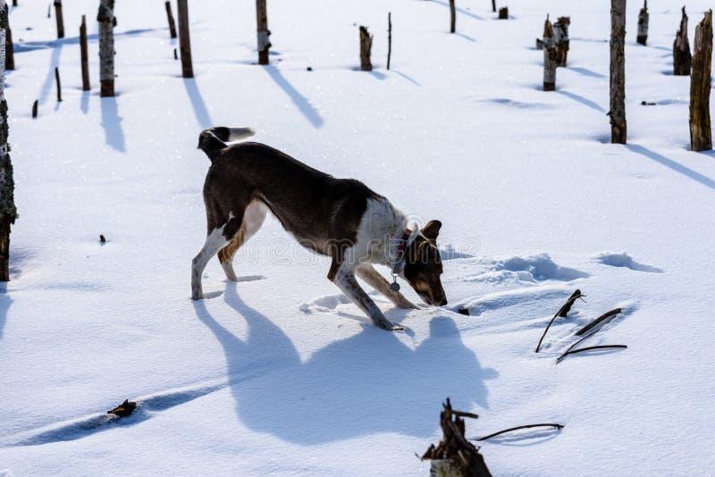 Szczęśliwy pies bawić się w śniegu obraz stock
