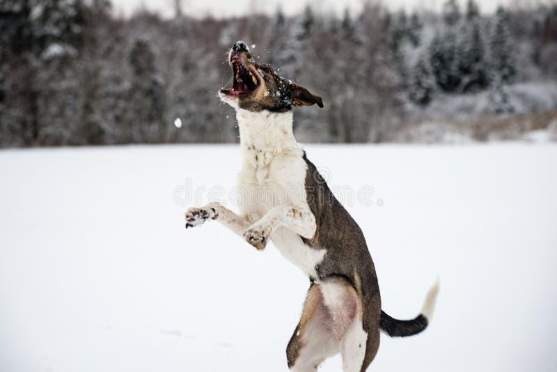 Szczęśliwy pies bawić się w śniegu fotografia royalty free