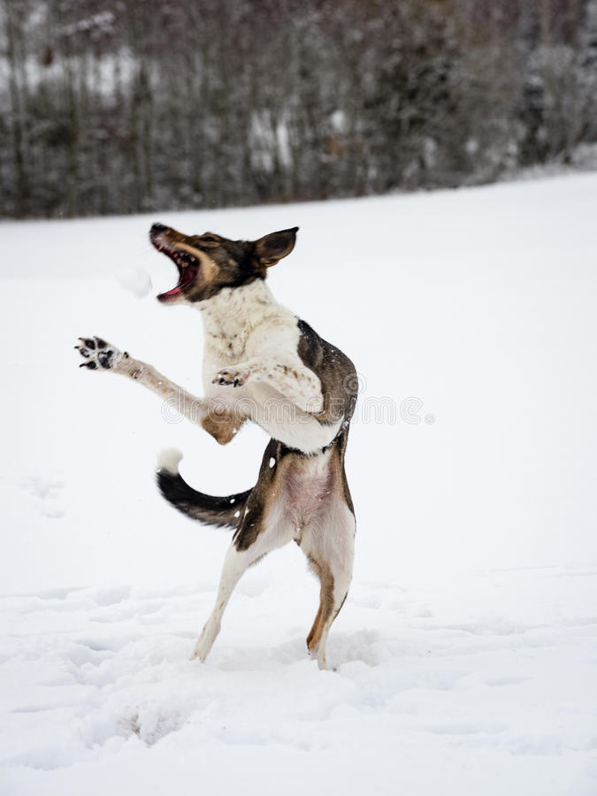 Szczęśliwy pies bawić się w śniegu obrazy stock