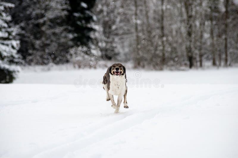 Szczęśliwy pies bawić się w śniegu obraz royalty free