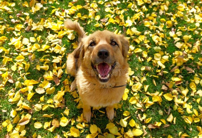 Szczęśliwy pies siitting na trawie z żółtymi jesień liśćmi obrazy royalty free