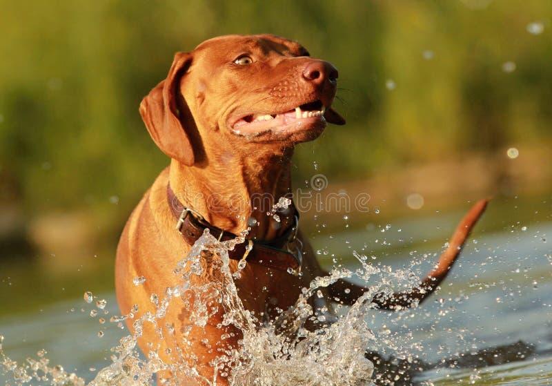 Szczęśliwy pies w rzece zdjęcia royalty free