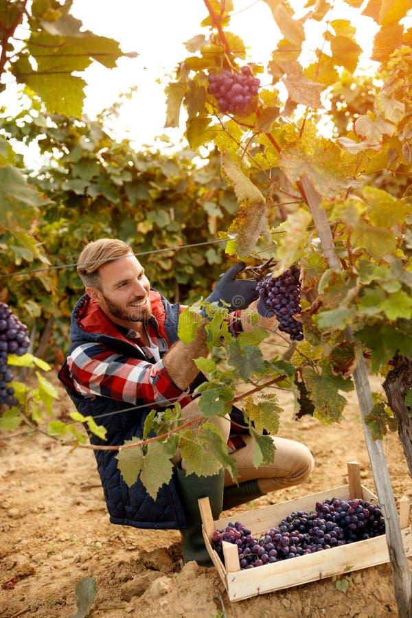 Szczęśliwy pracownik podnosi czarnych winogrona na jesień winnicy zdjęcie royalty free