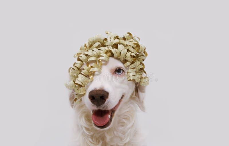 Szczęśliwy psa przyjęcie Szczeniak odświętności urodziny, rocznica, karnawał lub nowy rok z złotym faborkiem na głowie, Odizolowy fotografia stock