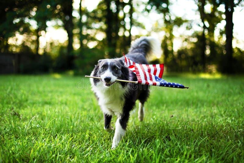 Szczęśliwy psi bawić się outside z flaga amerykańską obrazy royalty free