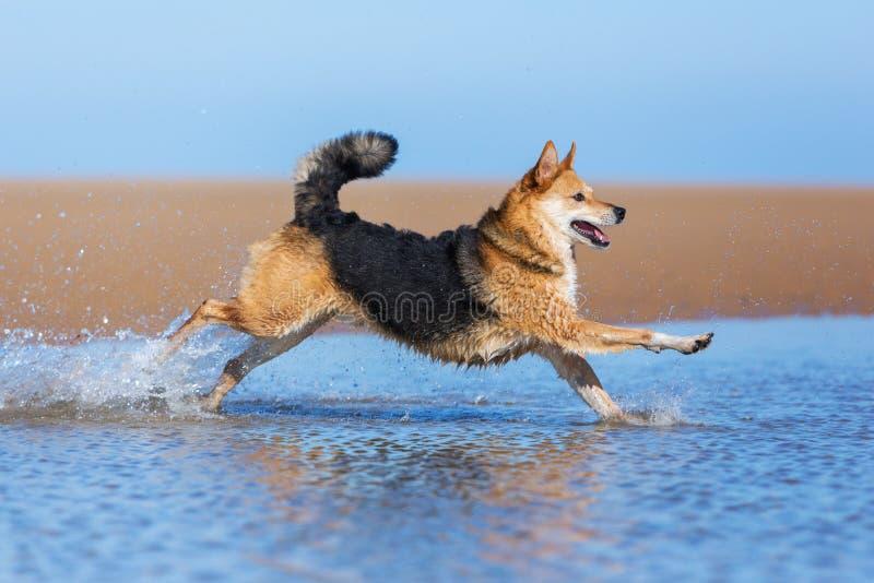 Szczęśliwy psi bieg na plaży zdjęcia royalty free