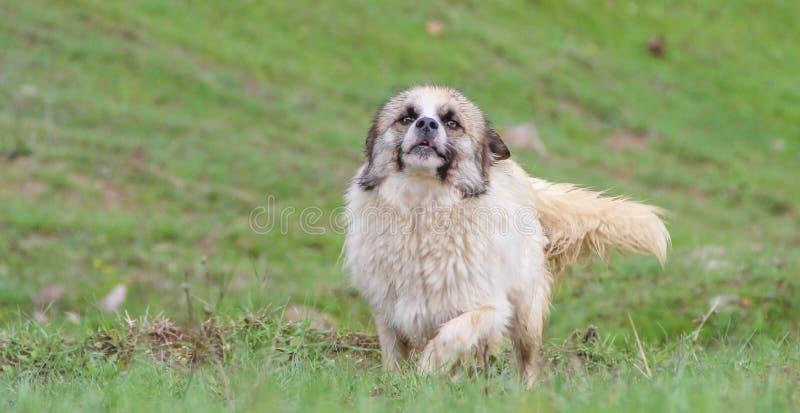 Szczęśliwy psi bieg outdoors na pogodnym letnim dniu zieloną trawą obraz stock
