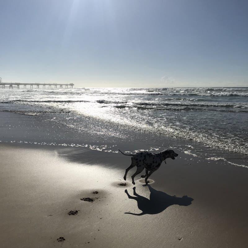 Szczęśliwy psi bieg przy plażą z słońce nadchodzącym puszkiem zdjęcia stock