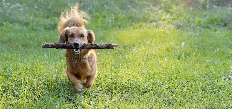 Szczęśliwy psi jamnik bawić się z gałąź outdoors na zielonym gazonie obraz stock