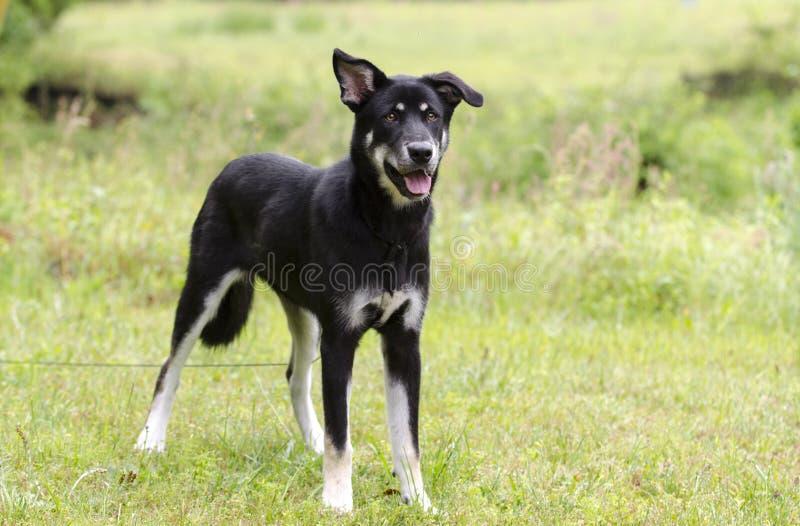 Szczęśliwy psi merdanie ogon, Łuskowata baca mieszał trakenu psa, zwierzę domowe adopci ratownicza fotografia fotografia royalty free