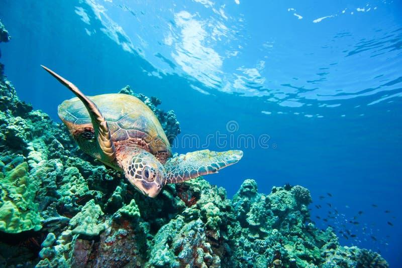 szczęśliwy rafowy denny żółw zdjęcia stock