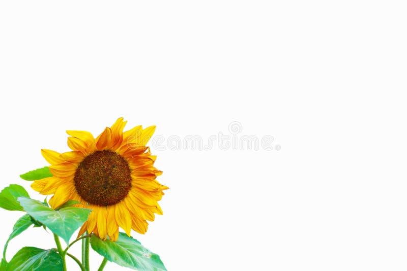 Szczęśliwy słonecznik z liśćmi odizolowywającymi na Białym tle - pokój dla teksta obraz royalty free