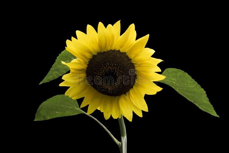 Szczęśliwy słonecznik zamknięty w górę, odizolowywający ? obrazy royalty free