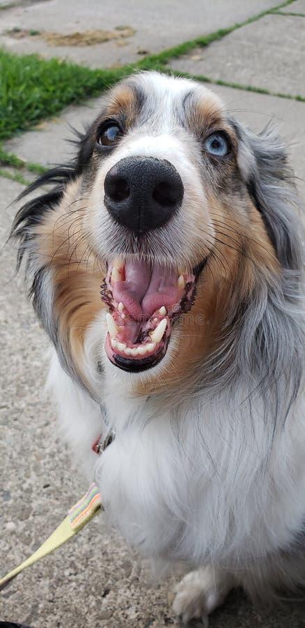 Szczęśliwy Shetland sheepdog zdjęcie stock