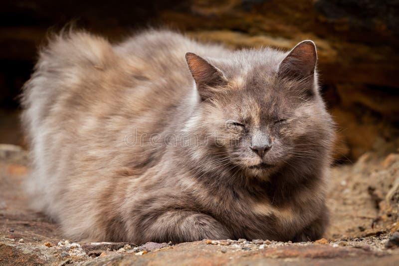 Szczęśliwy Siwieje i Imbirowy długowłosy Tortoiseshell kota obsiadanie na a zdjęcie royalty free