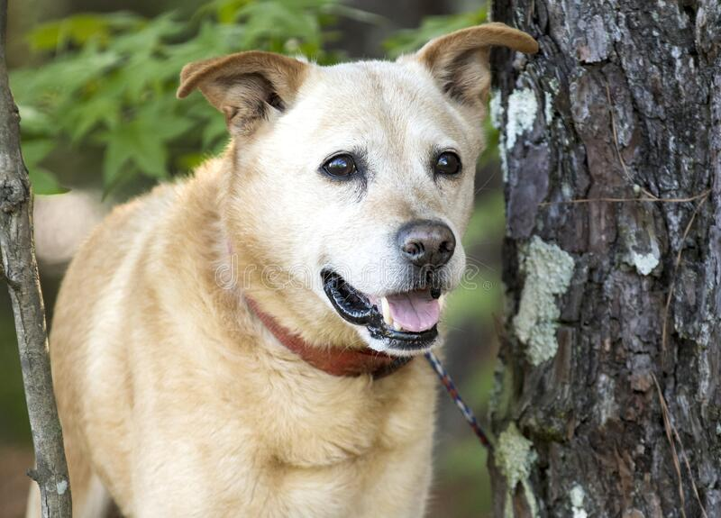 Szczęśliwy starszy, starszy, Lab Heeler mieszał psa na zewnątrz na smyczy zdjęcie stock