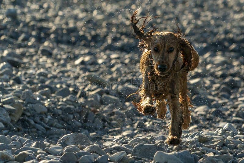 Szczęśliwy szczeniaka pies Cocker spaniel w rzece zdjęcie royalty free