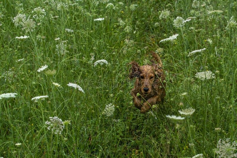 Szczęśliwy szczeniaka pies Cocker spaniel w zielonej trawie obraz royalty free