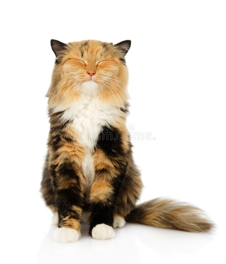 Szczęśliwy tricolor kota obsiadanie w przodzie Odizolowywający na białym backgroun obraz stock