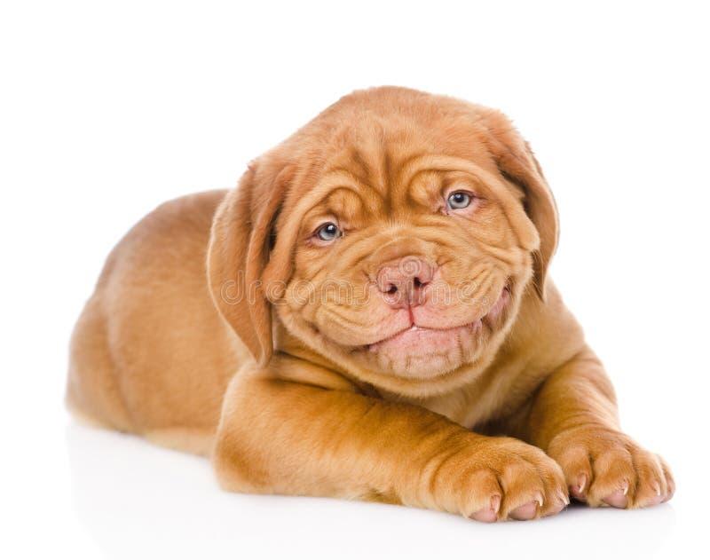 Szczęśliwy uśmiechnięty Bordoski szczeniaka pies pojedynczy białe tło fotografia royalty free