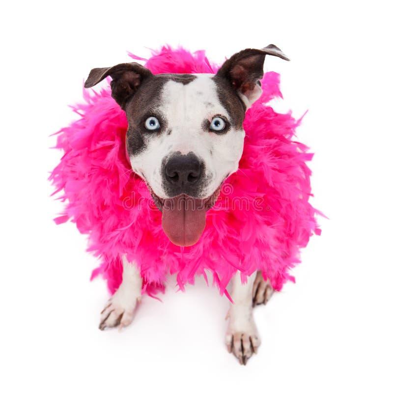 Szczęśliwy Życzliwy pit bull Jest ubranym Piórkowego boa obraz stock