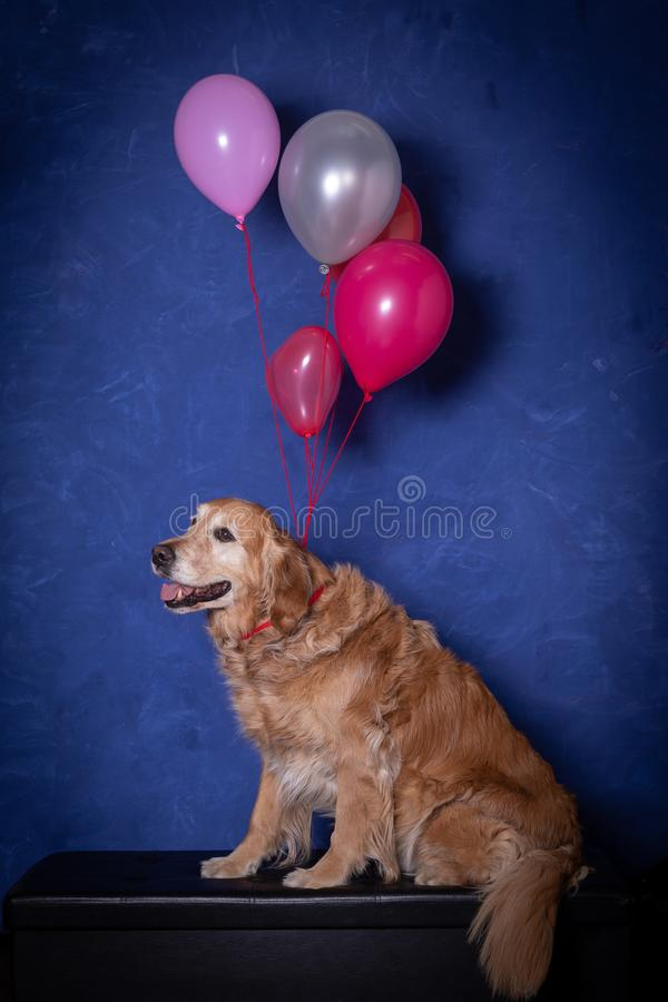 Szczęśliwy złoty retrievr psa obsiadanie z coloured balonami, błękitny tło obraz royalty free