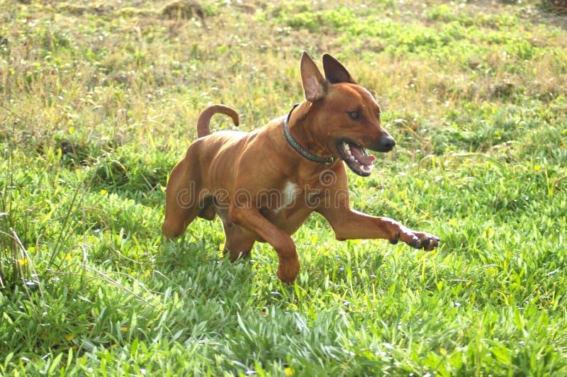szczęśliwych łowów psa obraz stock