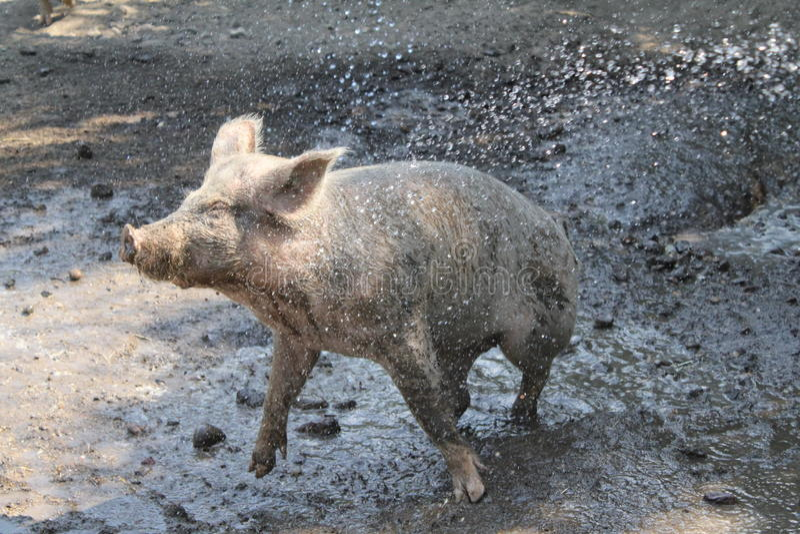 Szczęsliwa świnia fotografia stock