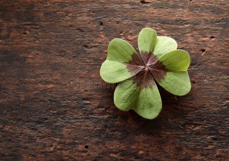 Szczęsliwa cztery liści koniczyna na textured nieociosanym drewnie obrazy royalty free