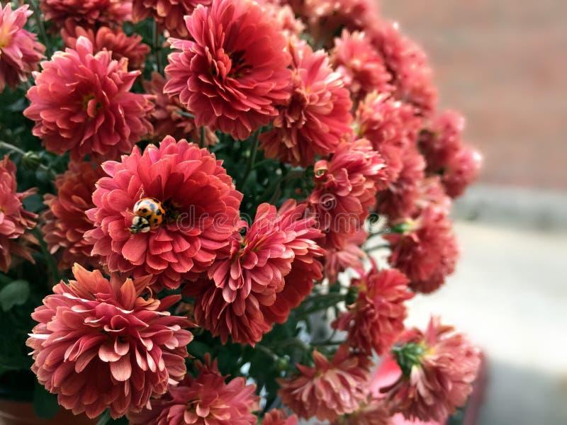 Szczęsliwej damy pluskwy kwiatu Czerwony świat zdjęcia royalty free