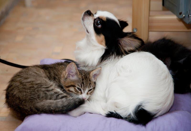 Szczęsliwi koty i chihuahua pies Miłość Figlarka cztery miesiąca fotografia royalty free