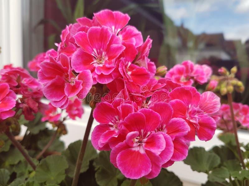 Szczęsliwi menchia ogródu kwiaty zdjęcia royalty free