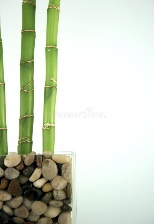 Szczęsliwy bambus zdjęcia royalty free