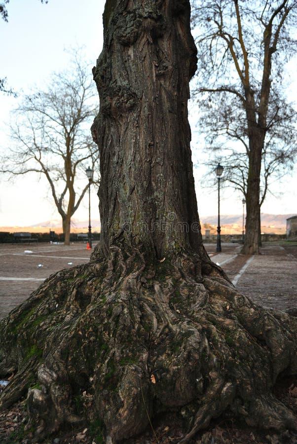Szczegółowi korzenie i stary drzewo obraz royalty free