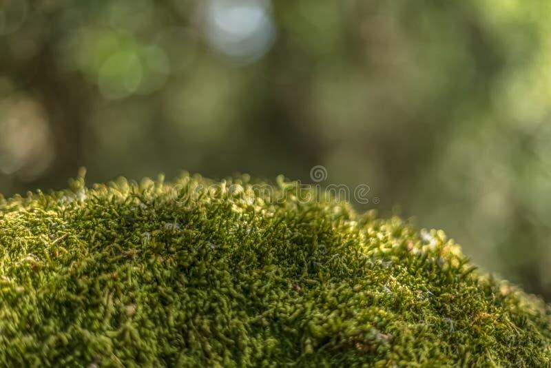 Szczegółowy widok tekstura mech na skale, las, Portugalia obraz stock