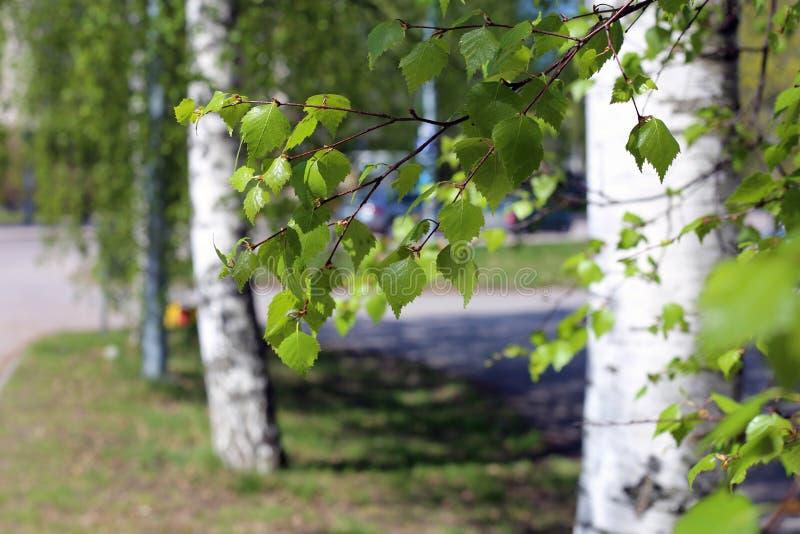 Szczegóły brzozy drzewo podczas Pogodnego wiosna dnia obrazy royalty free