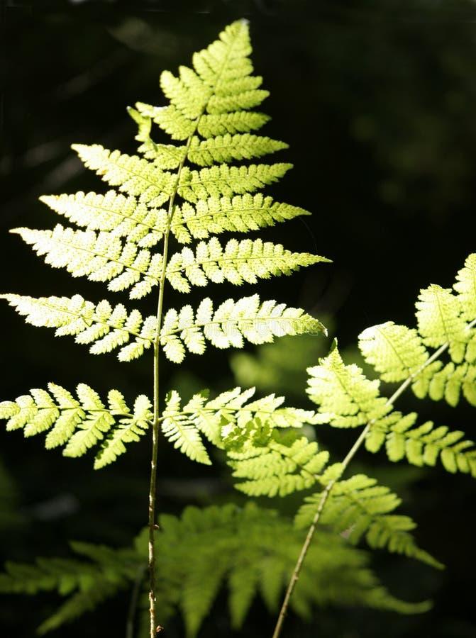 szczegółów paproci zieleń zdjęcia stock