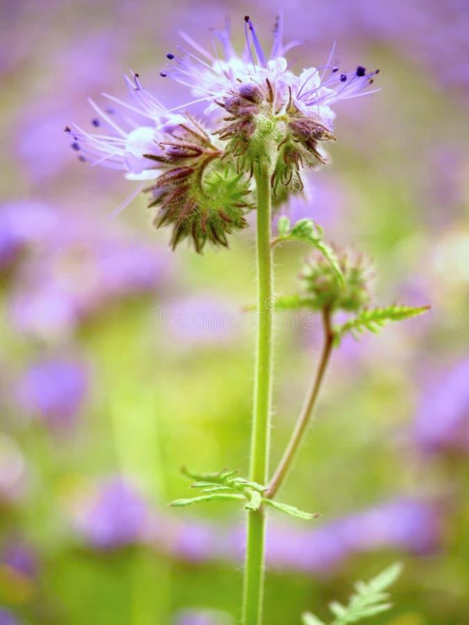 Szczegół świeży Purpurowy Tansy w polu w tle Zielony błękitny purpura kwiat fotografia stock