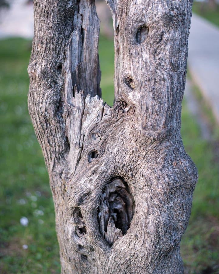 Szczegół bagażnik drzewo oliwne obraz royalty free