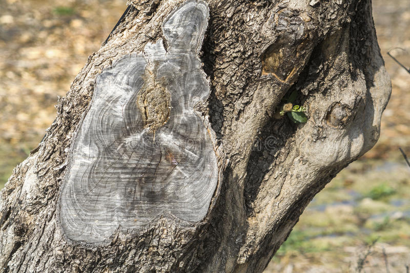 Szczegół bagażnik drzewo oliwne z więcej niż sto rok, Jaen fotografia royalty free