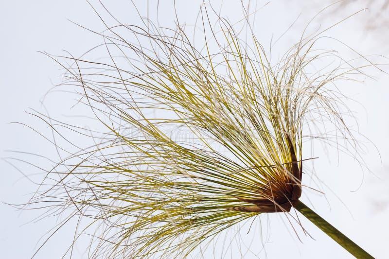 Szczegół bagna turzyca, Cyperus papirus fotografia stock