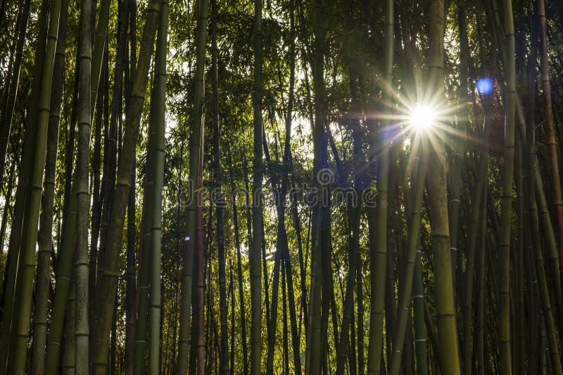 Szczegół bambusowy las obrazy royalty free