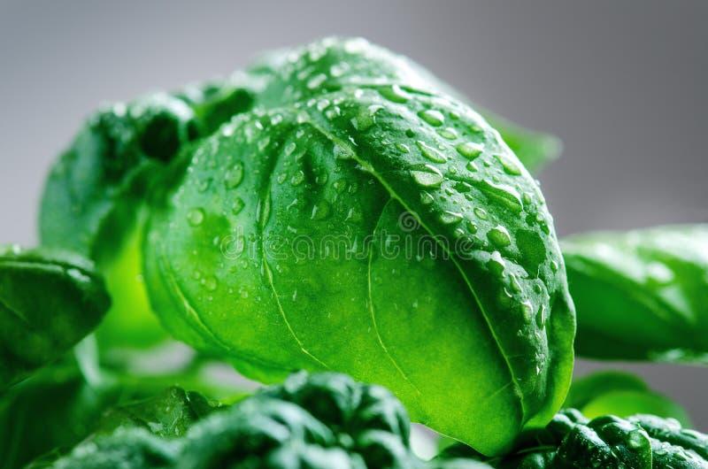 Szczegół basil roślina z kroplą woda na liście Świezi, organicznie ziele, cynamonowa kulinarna mąkę składników jaja orzechów przy obraz stock