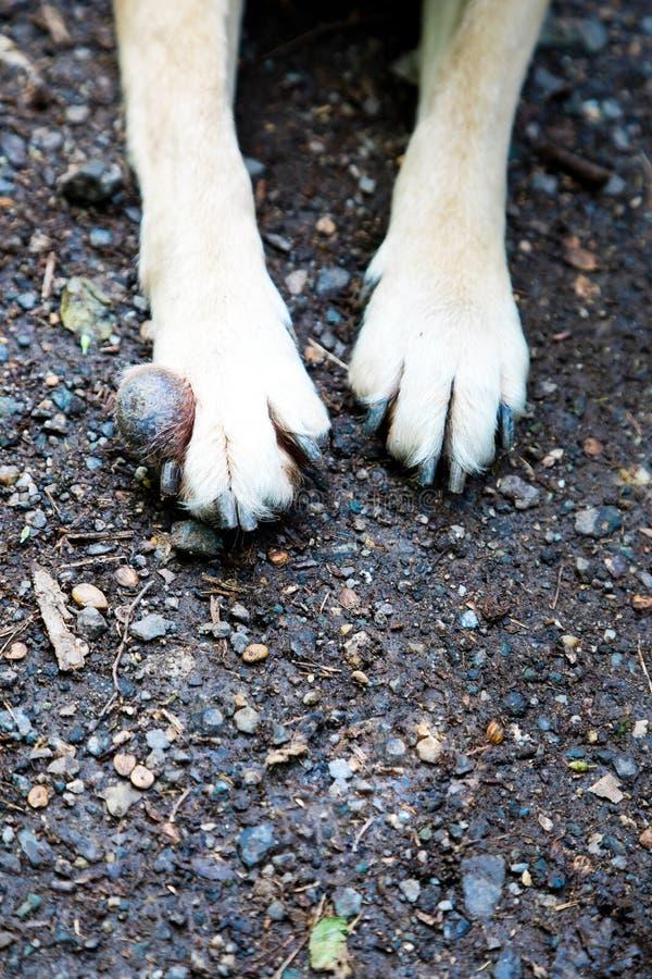 Szczegół bolak na frontowej pies nodze - nowotwór fotografia royalty free