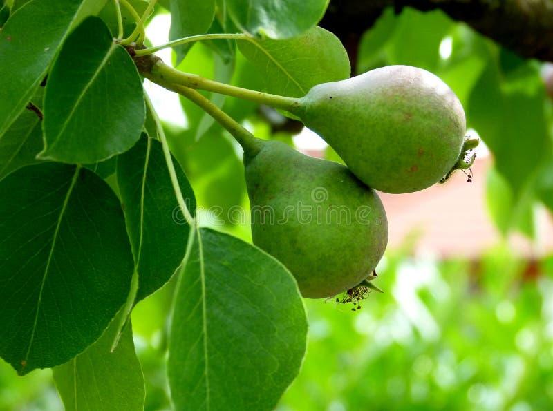 Szczegół bonkrety drzewo z 2 owoc w początkowej fazie 3 fotografia stock