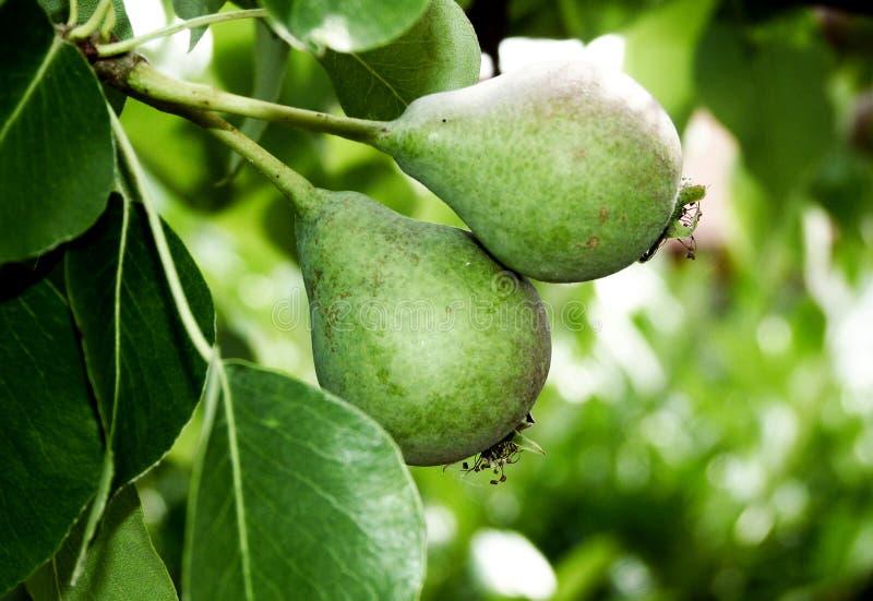 Szczegół bonkrety drzewo z 2 owoc w początkowej fazie 1, fotografia royalty free