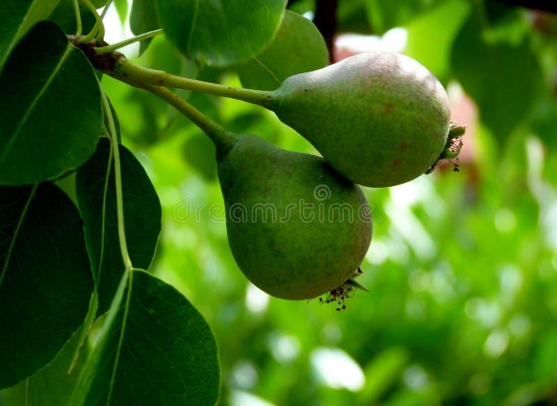 Szczegół bonkrety drzewo z 2 owoc w początkowej fazie 2 obrazy royalty free