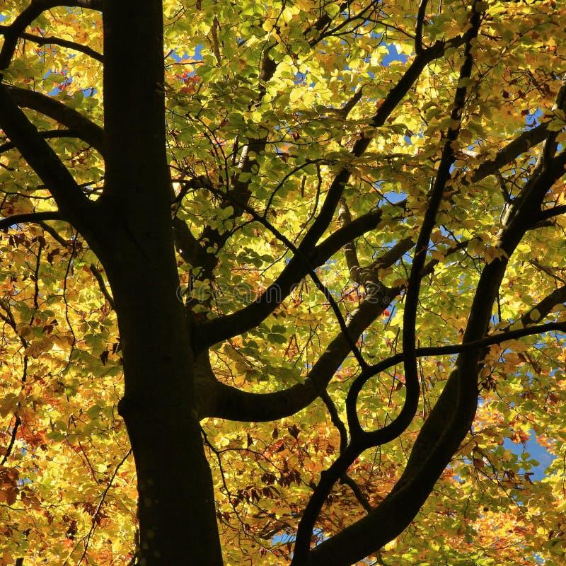 Szczegół bukowy drzewo w jesieni obraz stock