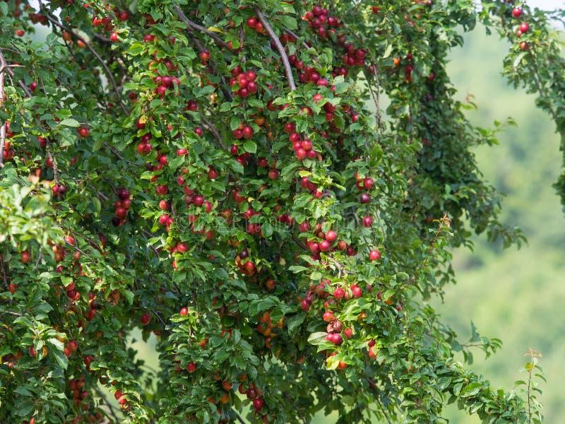 Szczegół Czereśniowa śliwka pełno organicznie dojrzałe owoc zdjęcie royalty free
