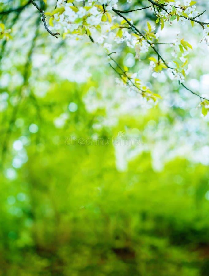 Szczegół czereśniowi okwitnięcia na rozmytym zielonym tle fotografia stock